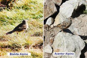 img_5523-5633-bistita-alpino-y-acentor-alpino-tex